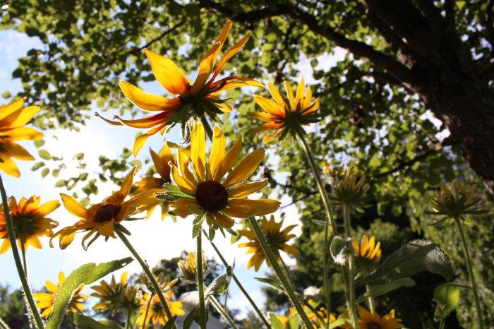 gloriosa-daisy-3