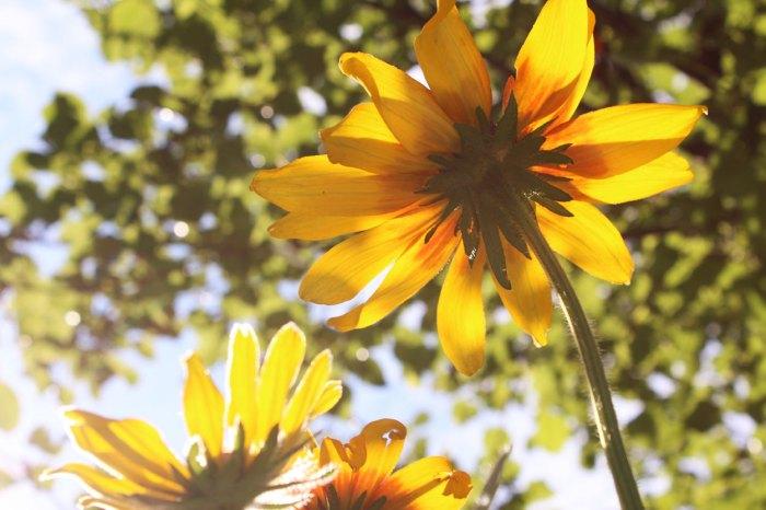 gloriosa-daisy
